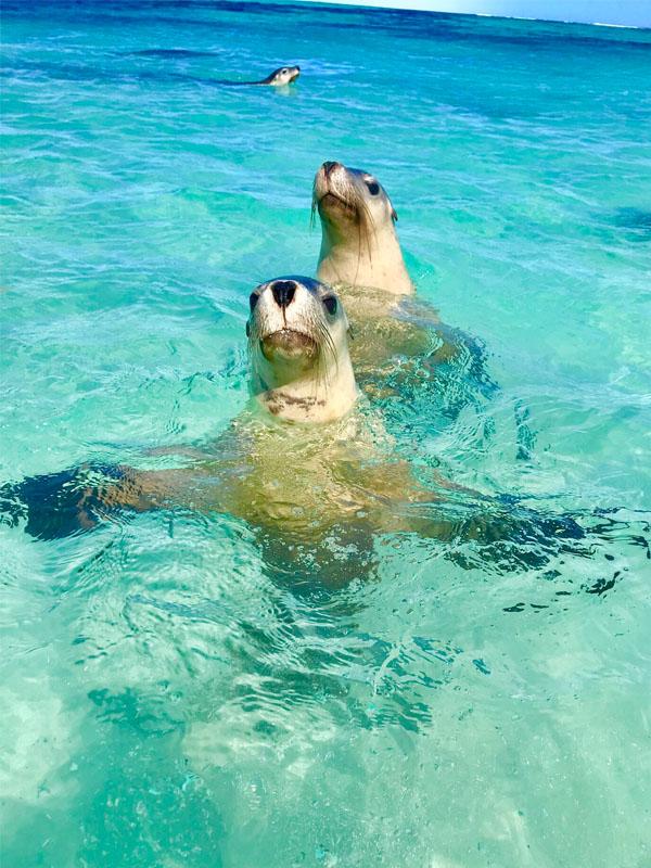 AUSTRALIA BLUE seal Carnac