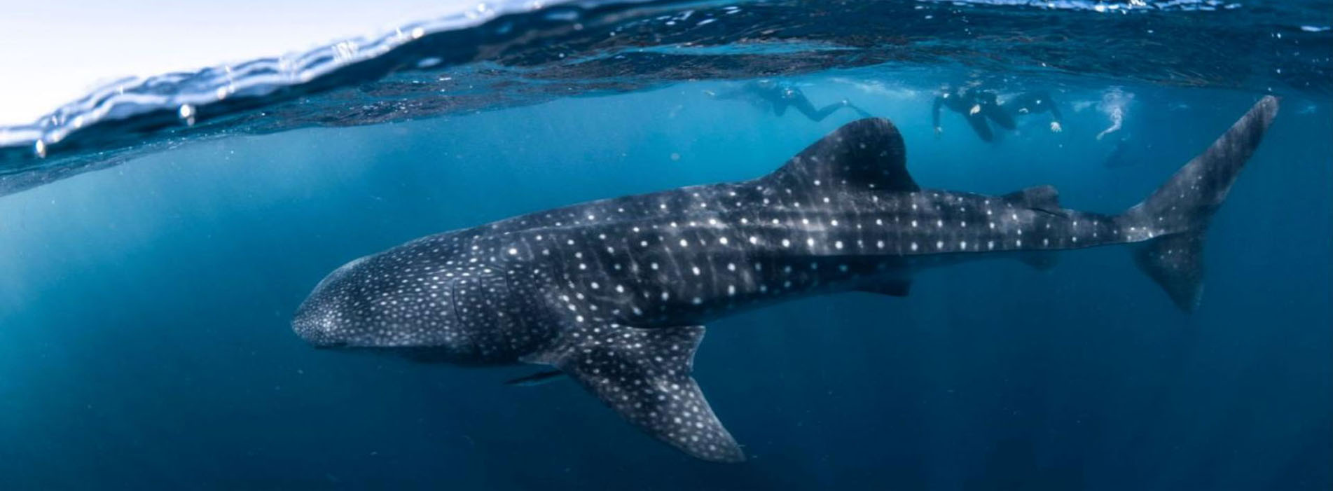 THUNDER-whale-shark-swimming-Coral-Bay-tours