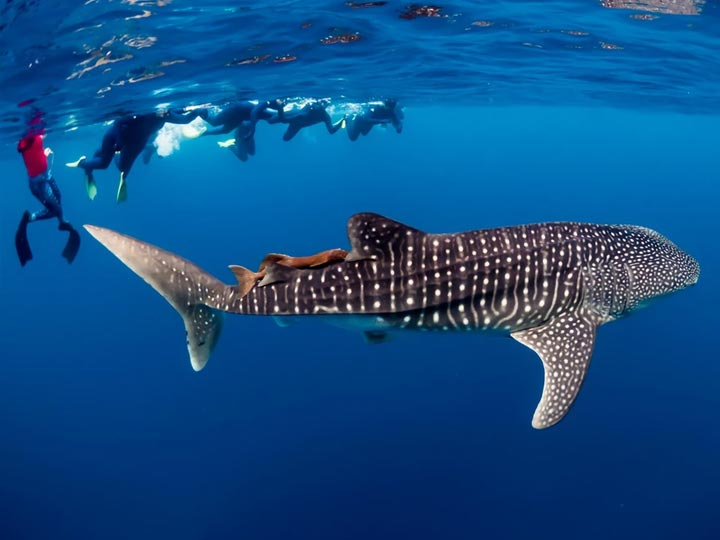 WHALE SHARK TOURS video