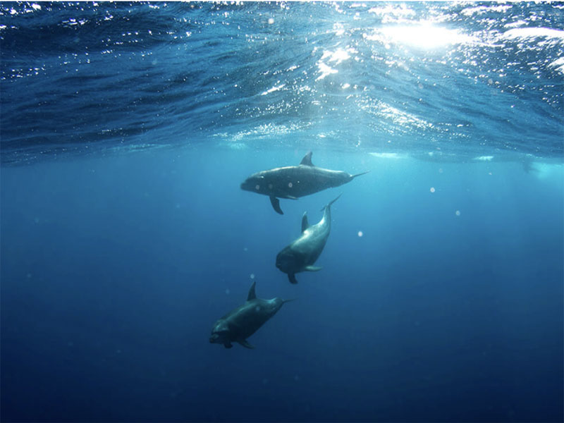 TROPIC ROVER dolphins at play in ocean