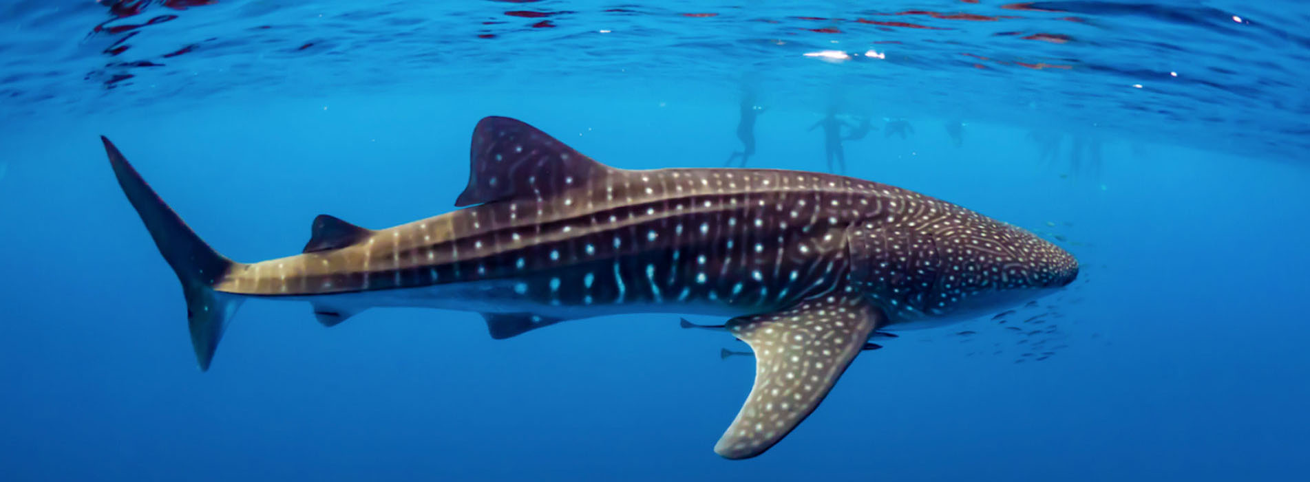WHALE-SHARK-SWIM-BOOKINGS 2021 swimming