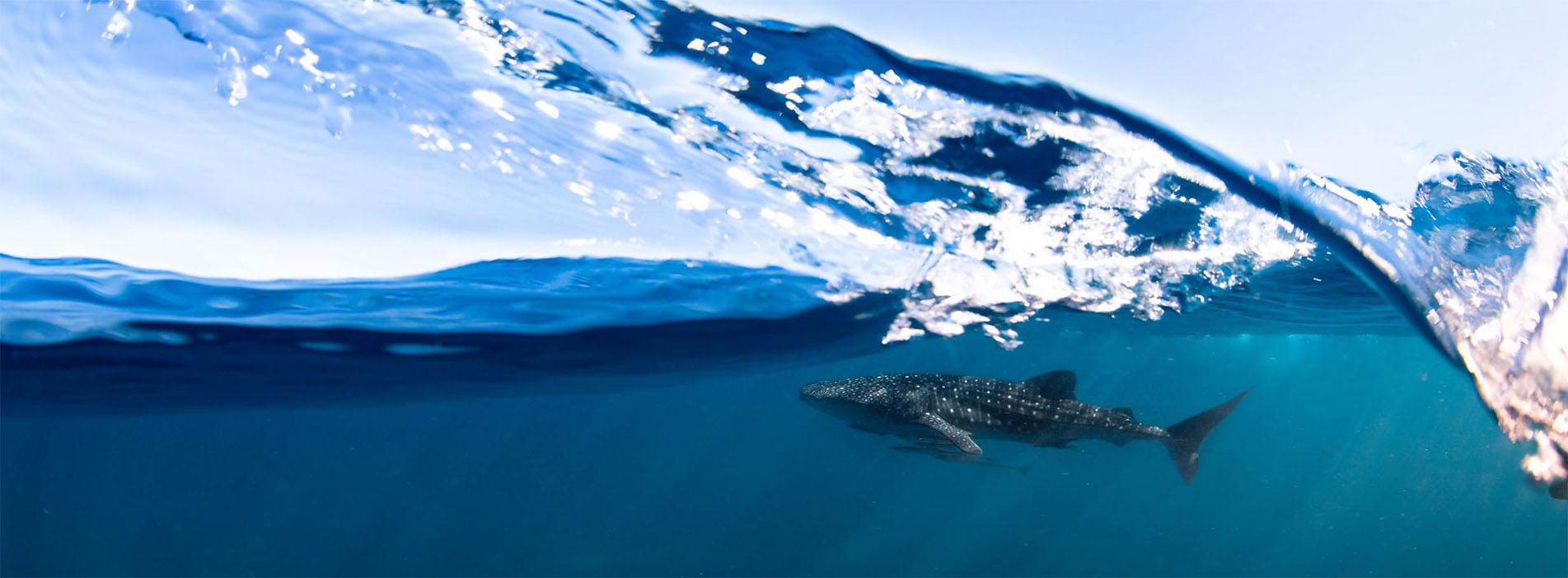 WHALE-SHARK-SWIM-DIVE BOOKINGS TOURS-2021